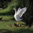 white geeses and ducks — Stock Photo #6252747