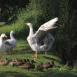 white geeses and ducks — Stock Photo #6252801