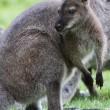 Bennett Wallaby, Kangaroo — Stock Photo #6254559