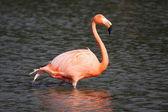 Beautiful Flamingo — Stock Photo