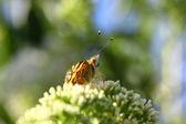 Butterfly cynthia cardui, la belle dame — Stockfoto
