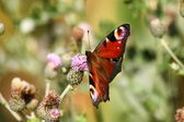Butterfly inachis, Paon du jour, peacock — Fotografia Stock