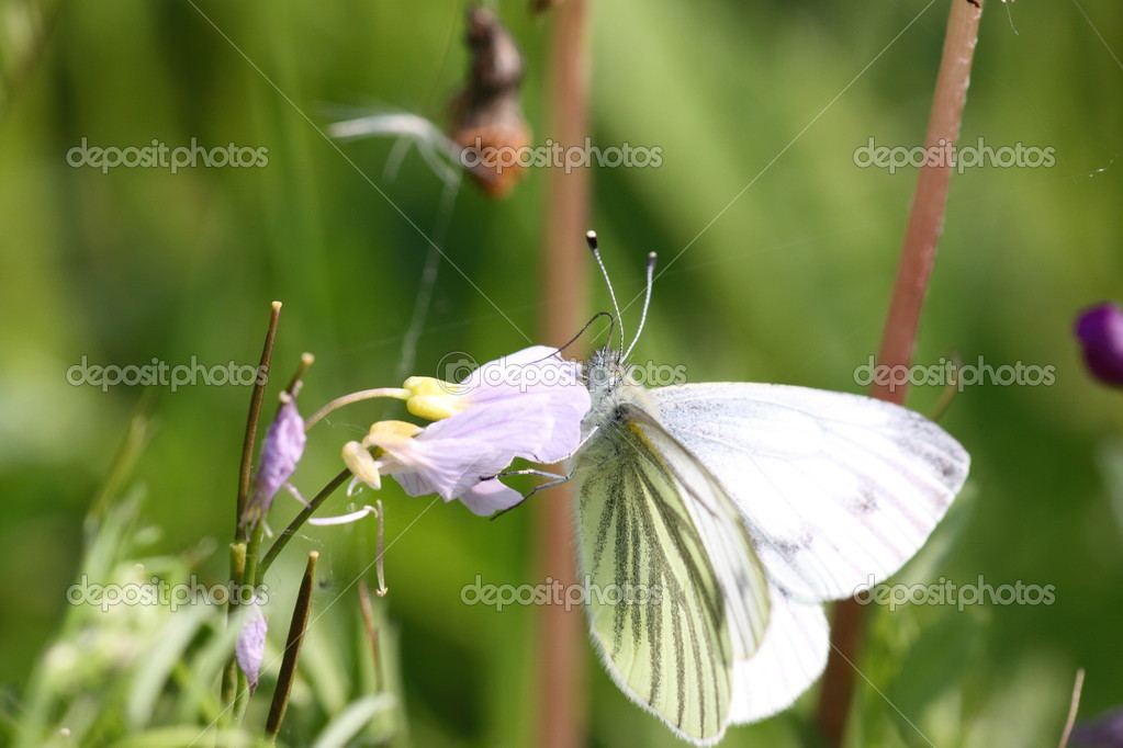 Pieris Napi, Pieride du navet — Stock Photo #6253091