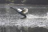 Landning av en swan stum i frankrike — Stockfoto