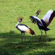 Crowned crane — Stock fotografie