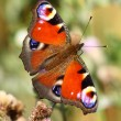 Royalty-Free Stock Photo: Butterfly inachis, Paon du jour, peacock
