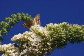 Papillon cynthia cardui, la dame de belle — Photo