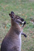 Bennett wallaby, kangaroo at a zoo in France — Stock Photo