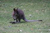 Walibi, kangaroo — Stock Photo