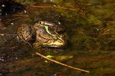 Frog green — Stock Photo