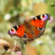 Stock Photo: Butterfly inachis, Paon du jour, peacock
