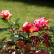 Stock Photo: Rose garden