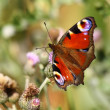 Butterfly inachis, Paon du jour, peacock — Stock Photo