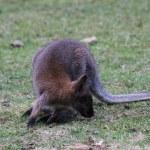 Bennett Wallaby, Kangaroo — Stock Photo #6389623