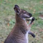 Bennett Wallaby, Kangaroo — Stock Photo #6389656