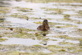 Young mallard female, duck cane — Stock Photo