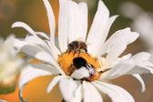Bee, Apoidea, Abeille — Stock Photo