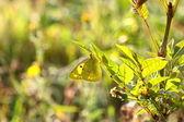 Colias crocea, le soucis — Stock Photo