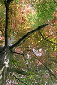 Copper beech, tree-top — Stock Photo