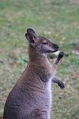 Bennett wallaby, kangoeroe — Stockfoto