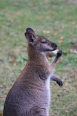 Bennett wallaby, känguru — Stockfoto