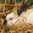 Stock Photo: Close-up of white rabbit farm in straw
