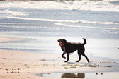 Brown labrador playing on a sandy beach — Zdjęcie stockowe