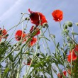 Poppies in perspective against a background of blue sky - Stock Photo