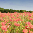 Royalty-Free Stock Photo: Field of poppies in rose color