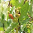 Cherries on branch — Stock Photo