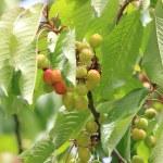 Cherries on branch — Stock Photo