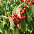 Stock Photo: Cherries on branch