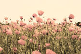 Old picture of poppy fields dusty pink color — Stock Photo