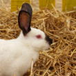 Close-up of a californian rabbit farm in the straw — Stock Photo