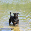 Female rottweiler playing in the water of a river - Stock Photo
