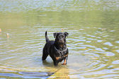 Female rottweiler playing in the water of a river — Stock Photo