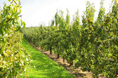 Pear trees laden with fruit in an orchard in the sun — Stock Photo