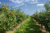 Apple trees loaded with apples in an orchard in summer — Stock Photo