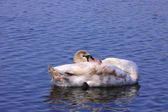 A young mute swan make her toilet. his attitude is soft — Stock Photo