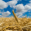 Ear of wheat — Stock Photo #5414588