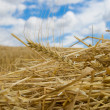 Ear of wheat — Stock Photo #5414593