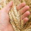 Stock Photo: Harvest in hand