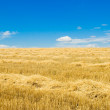 Stock Photo: Windrows