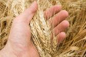 Harvest in hand — Stock Photo