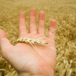 Hand with harvest — Foto Stock