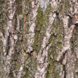 Crust oak — Stock Photo