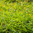Stock Photo: Green grass close up