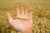Hand with harvest — Stock Photo