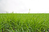 Green crop — Stock Photo