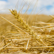 Windrows — Stock Photo #5578091
